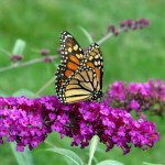 include milkweed for monarchs, landscape design