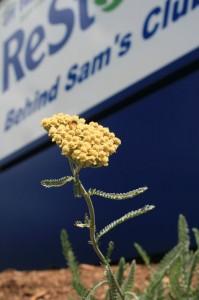 flower in landscape foreground, ReStore sign background