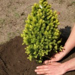 Planting Trees and Shrubs, St. Louis planting