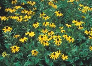orange cornflower