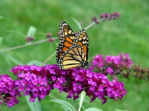 milkweed for monarchs, landscape design