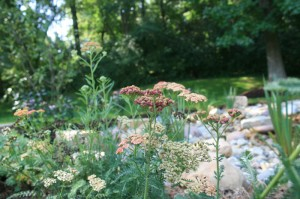 Native plants and flowers in a rain garden installed in St. Louis by Quiet Village Landscaping