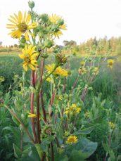 Missouri Native Cup Plant
