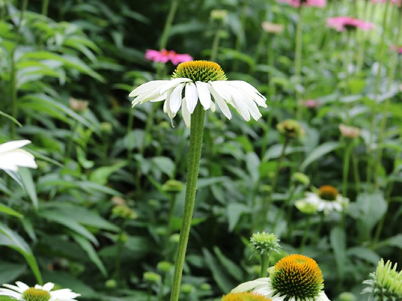 Native White Coneflower